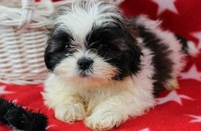 brave Shih tzu puppies for their new home