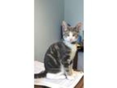Adopt Ashton Marty a Gray or Blue (Mostly) Domestic Shorthair / Mixed cat in