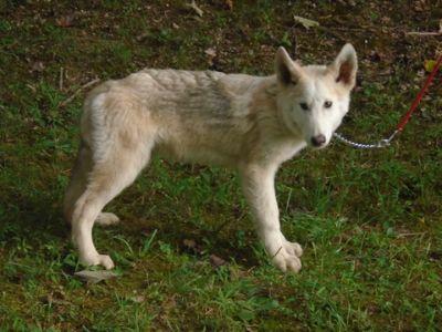 Wolf Hybrid PUPPY FOR SALE ADN-95197 - NorDogs Wolf Dog Yuchi