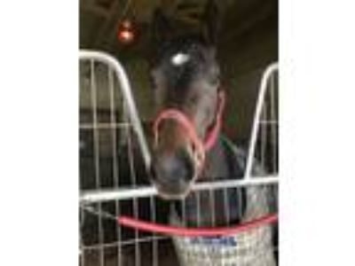 Racehorse for sale