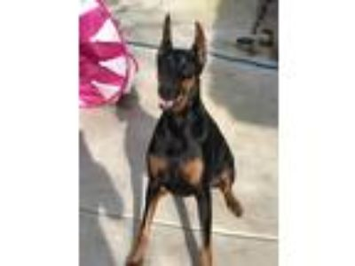 Adopt Zoe a Black - with Tan, Yellow or Fawn Doberman Pinscher / Mixed dog in