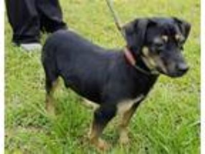 Adopt Sophia a Hound (Unknown Type) / Mixed dog in Stratham, NH (25644310)