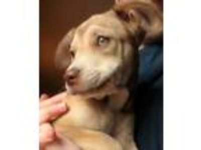 Adopt Casper a Tan/Yellow/Fawn Labrador Retriever / Mixed dog in Bloomingdale