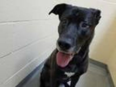 Adopt ZOEY a Black Labrador Retriever / Mixed dog in Tacoma, WA (25803420)