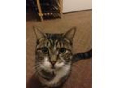 Adopt Teto a Brown Tabby Domestic Shorthair / Mixed cat in Cranberry Twp