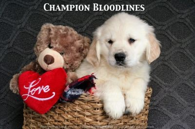 Golden Retriever PUPPY FOR SALE ADN-61908 - Adorable AKC Champion Bloodline Puppies