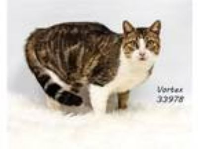 Adopt Vortex a Domestic Short Hair