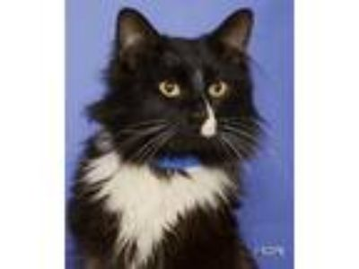 Adopt Tucson a All Black Domestic Longhair / Domestic Shorthair / Mixed cat in