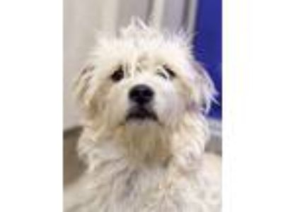 Adopt Curly a Jack Russell Terrier, Cocker Spaniel