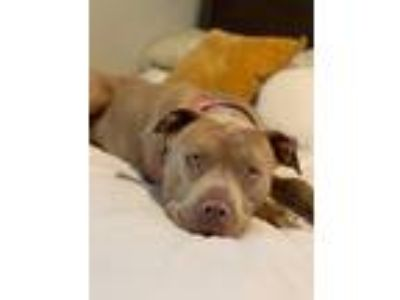 Adopt Capone a Tan/Yellow/Fawn American Pit Bull Terrier / Mixed dog in Los