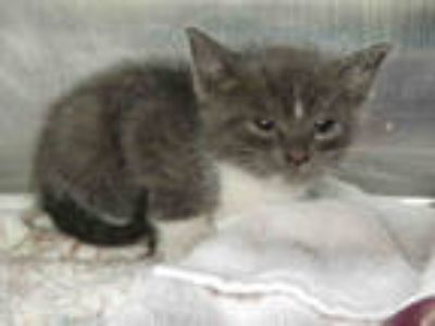 Adopt BO DUKE a Gray, Blue or Silver Tabby Domestic Shorthair / Mixed (short