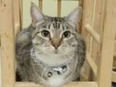 Adopt Belle a Domestic Short Hair, Tabby