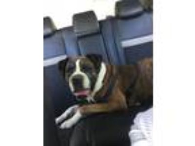 Adopt Rocky a Brown/Chocolate - with White Boxer dog in Manteca, CA (25494066)