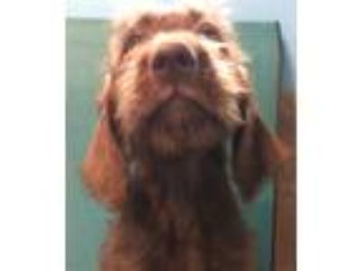 Adopt Rusty a Brown/Chocolate Labrador Retriever / Poodle (Standard) / Mixed dog
