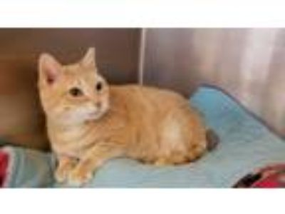 Adopt BUTTERNUT a Domestic Short Hair