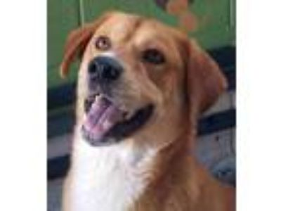 Adopt Socks a Tan/Yellow/Fawn - with White Labrador Retriever / Mixed dog in