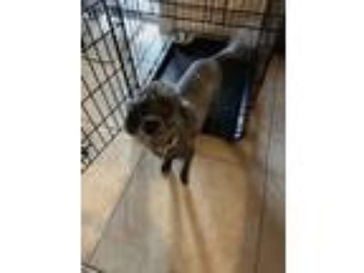 Adopt Krystal a Black - with Gray or Silver Poodle (Miniature) dog in Davenport