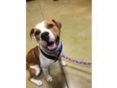 Adopt Buddy a Boxer, Hound