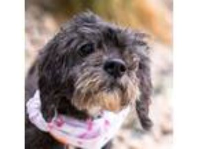 Adopt Flower a Poodle (Toy or Tea Cup) / Mixed dog in Golden, CO (25230315)