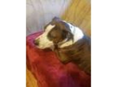 Adopt ROCKY a Brindle - with White American Pit Bull Terrier / American Pit Bull