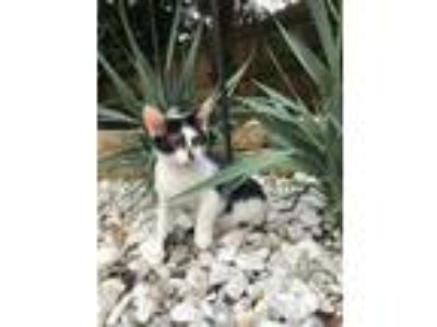 Adopt Marceline a Black & White or Tuxedo Domestic Shorthair (short coat) cat in