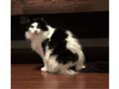 Adopt Phantom - Cat Cafe a Black & White or Tuxedo Domestic Longhair / Mixed