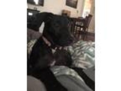 Adopt Jessie a Black - with White Labrador Retriever / Mixed dog in Hayes