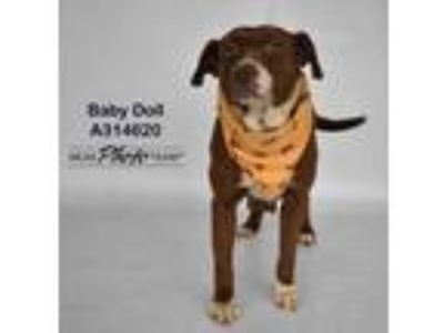 Adopt BABY DOLL a Brown/Chocolate American Pit Bull Terrier / Mixed dog in