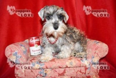 Schnauzer (Miniature) PUPPY FOR SALE ADN-95413 - TCUP AKC  FULL REGISTRATION