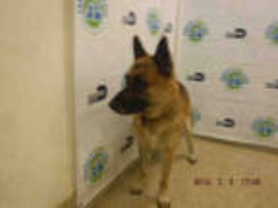 Adopt THADEUS a Black - with Tan, Yellow or Fawn German Shepherd Dog / Mixed dog