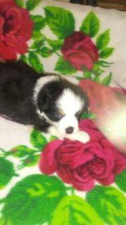 Australian Shepherd PUPPY FOR SALE ADN-103991 - Toy Aussie pups