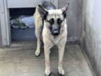 Adopt SUZIE a German Shepherd Dog