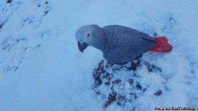 Congo African Grey Parrot Available For Christmas
