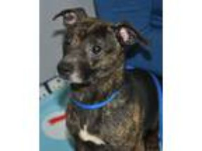 Adopt Tigger a Brindle - with White Italian Greyhound / Terrier (Unknown Type