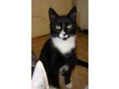 Adopt Tanner a All Black Domestic Shorthair / Domestic Shorthair / Mixed cat in