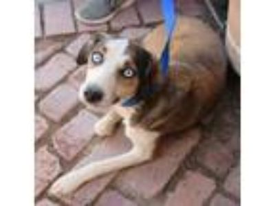 Adopt Honey Ryder a Brown/Chocolate - with White Beagle / Australian Shepherd /