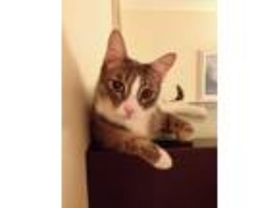 Adopt Edward a Domestic Short Hair, Tabby