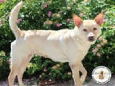 Adopt SNOWY a Tan/Yellow/Fawn Chow Chow / Mixed dog in Wilmington, NC (25873718)