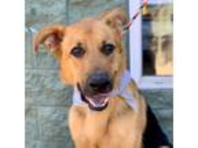 Adopt Hercules a German Shepherd Dog