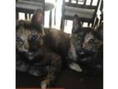 Adopt Lefty & Righty a Tortoiseshell Siamese / Mixed cat in Azusa, CA (24061610)