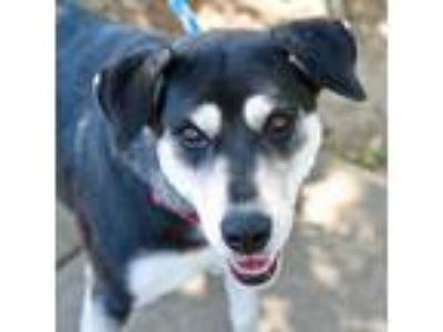 Adopt Roxann a Black Shepherd (Unknown Type) / Mixed dog in Alpharetta