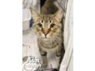 Adopt Ash a Tan or Fawn Domestic Shorthair / Domestic Shorthair / Mixed cat in