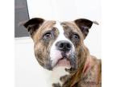 Adopt Rocko a Brindle American Pit Bull Terrier / Mixed dog in Noblesville