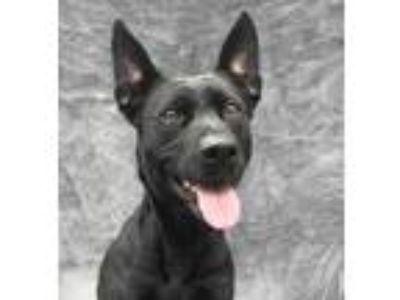 Adopt Daisy a Black Shepherd (Unknown Type) / American Pit Bull Terrier / Mixed