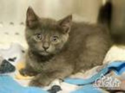 Adopt BUZZ a Gray or Blue Domestic Shorthair / Mixed (short coat) cat in Irvine