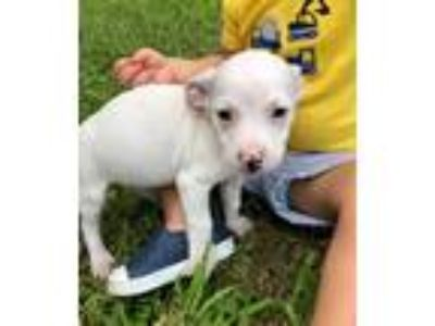 Adopt Robin a White American Pit Bull Terrier / Dachshund / Mixed dog in