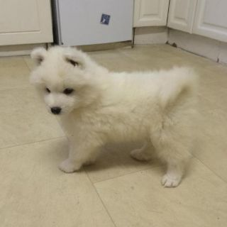 Samoyed PUPPY FOR SALE ADN-99433 - Beautiful Samoyed puppies ready for new homes