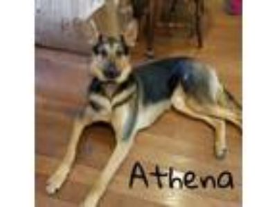 Adopt Athena a Black German Shepherd Dog / Mixed dog in Newfield, NJ (24428458)