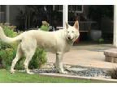 Adopt Elie a White German Shepherd Dog / Anatolian Shepherd dog in Chatsworth