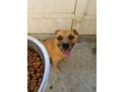Adopt Kratos a Tan/Yellow/Fawn - with Black American Pit Bull Terrier /